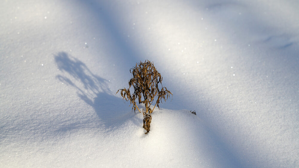 Welke Pflanze schaut aus dem Schnee