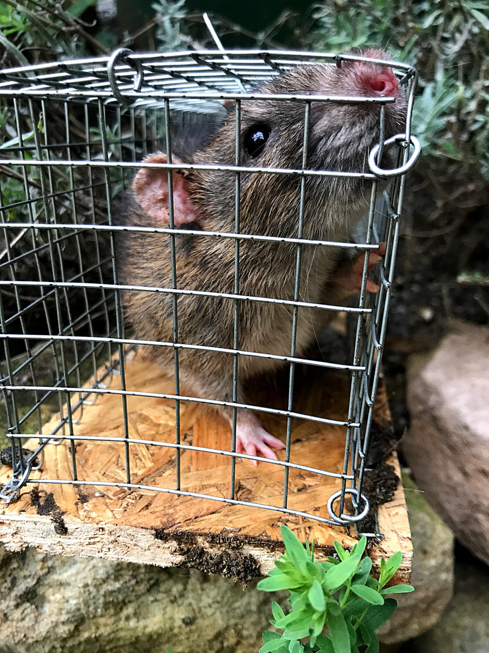 Lebend gefangene Ratte