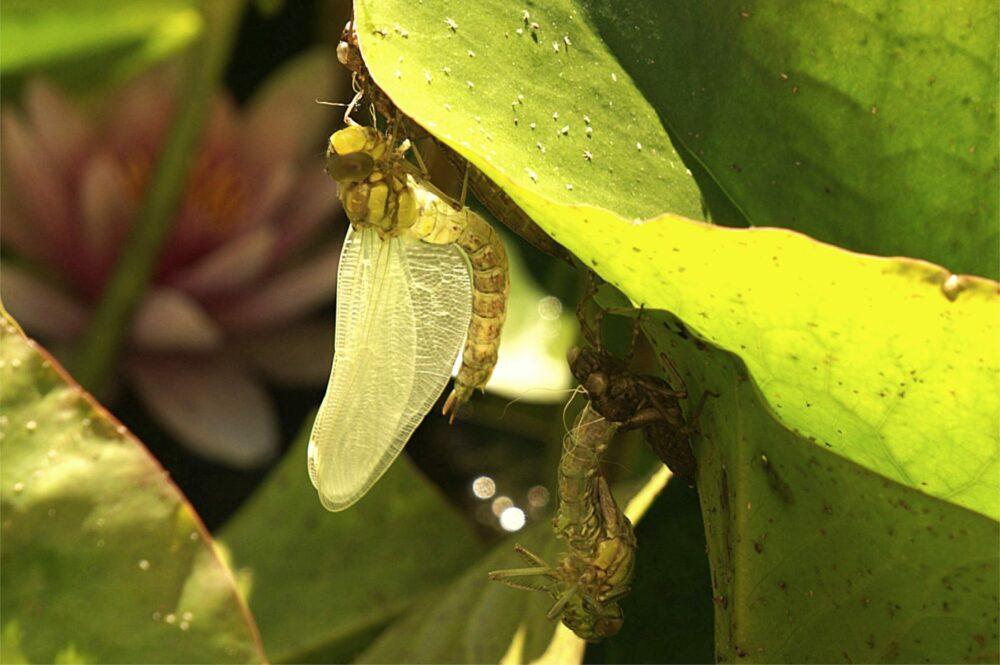 Libelle Verwandlung
