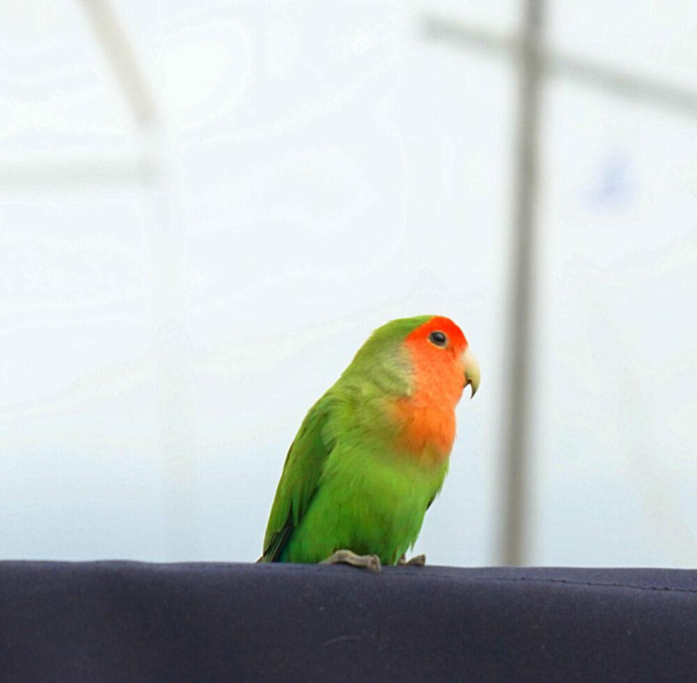 Kanarienvogel auf der Sprayhood