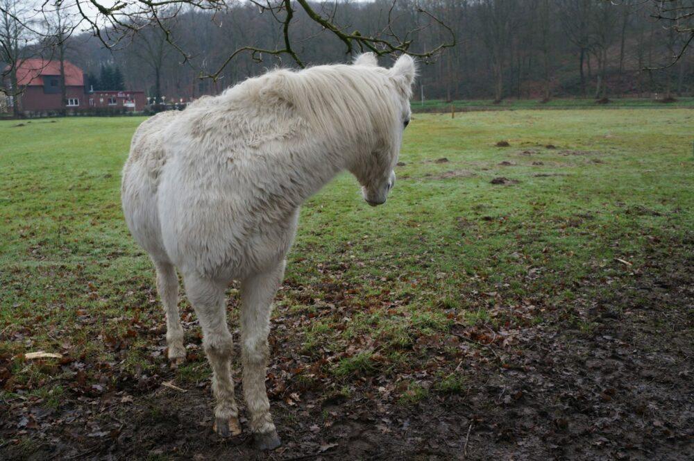 weißes Pferd dreht sich zurück