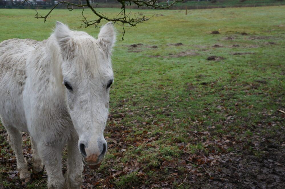 Weißes Pferd, Lonzo
