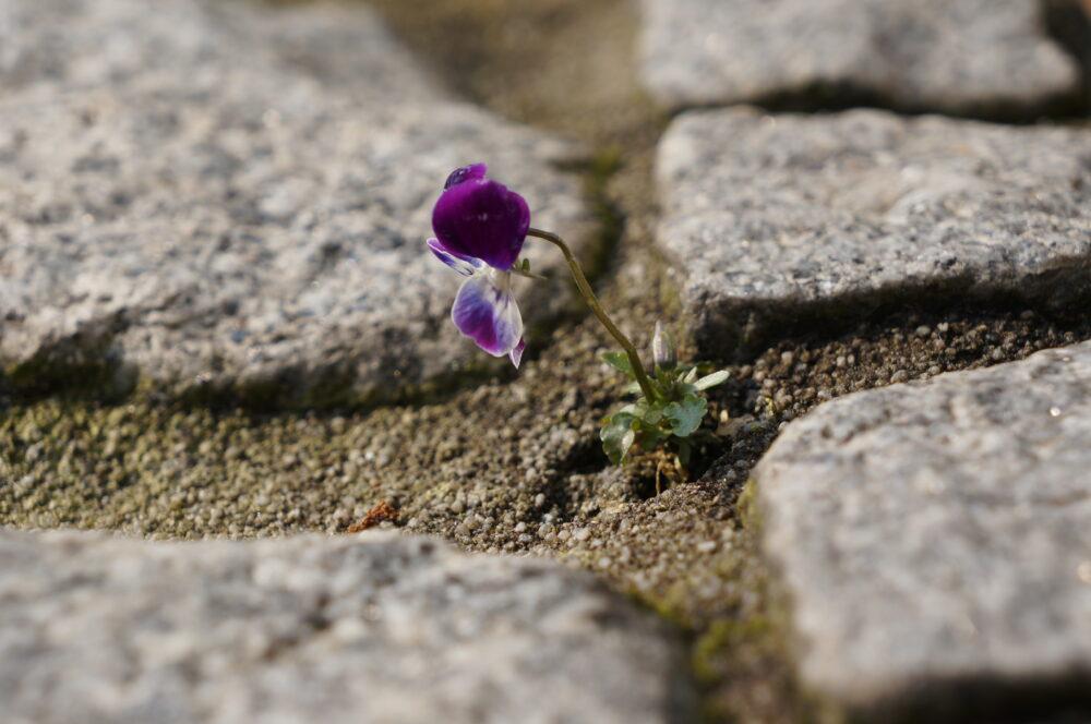 Mauerblümchen, Blüte auf Terassenstufe