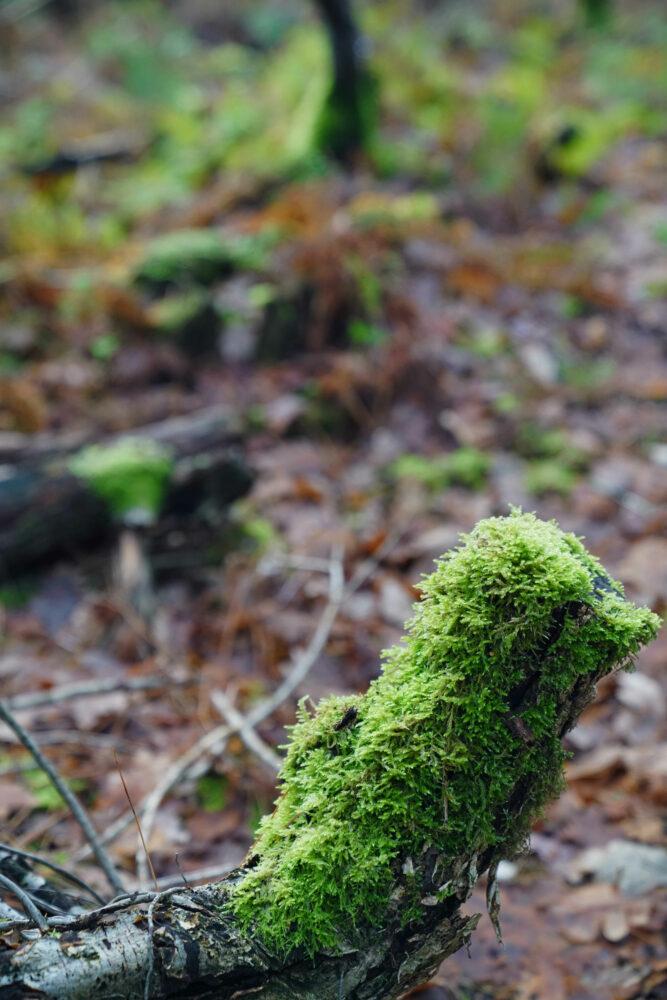 Moos an Baumstumpf