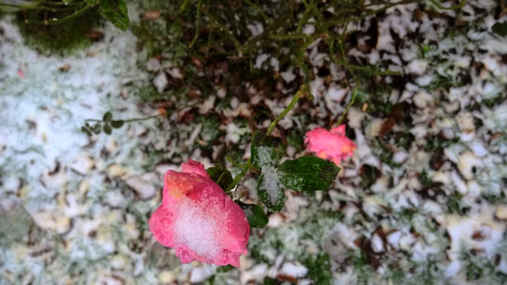 Eis in Rosenblüte