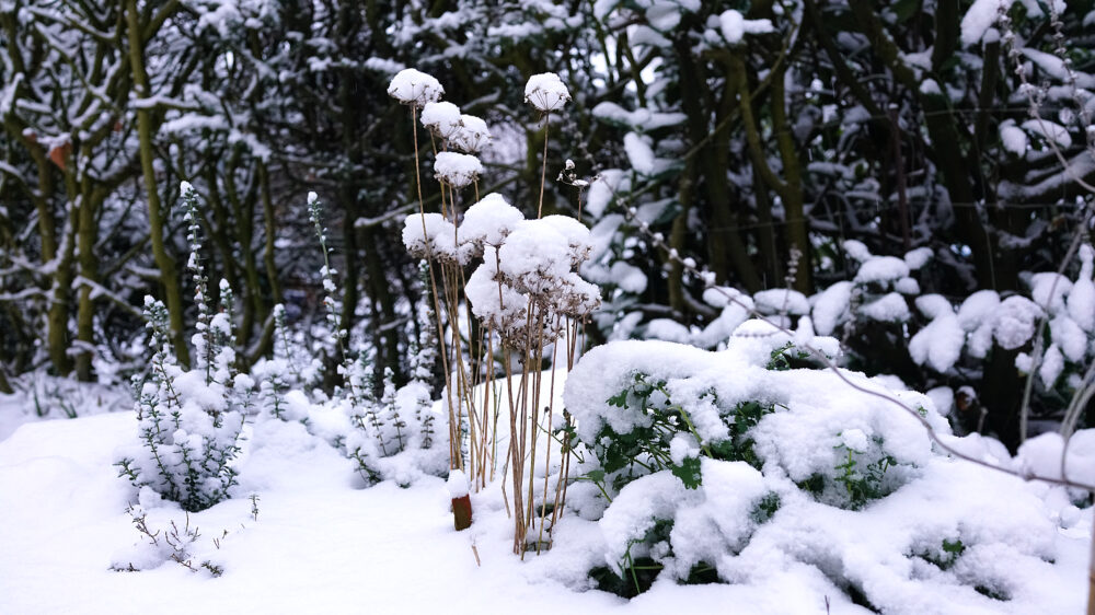 Schnee auf Winterpflanzen
