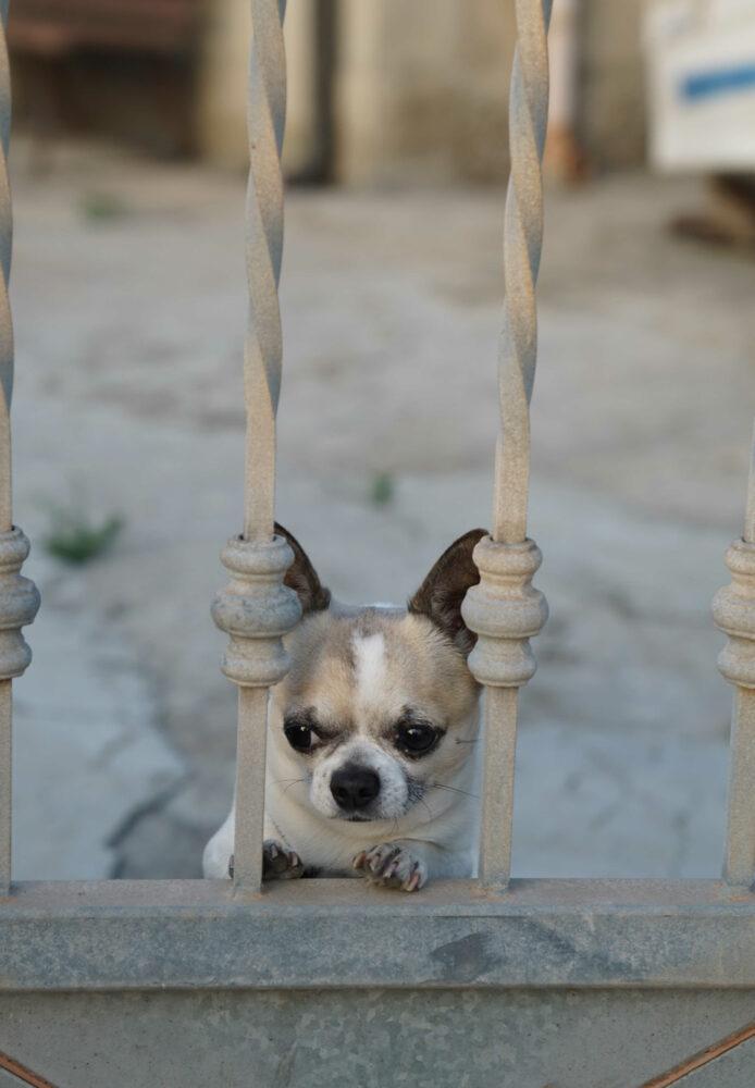 furchteinflößender Wachhund