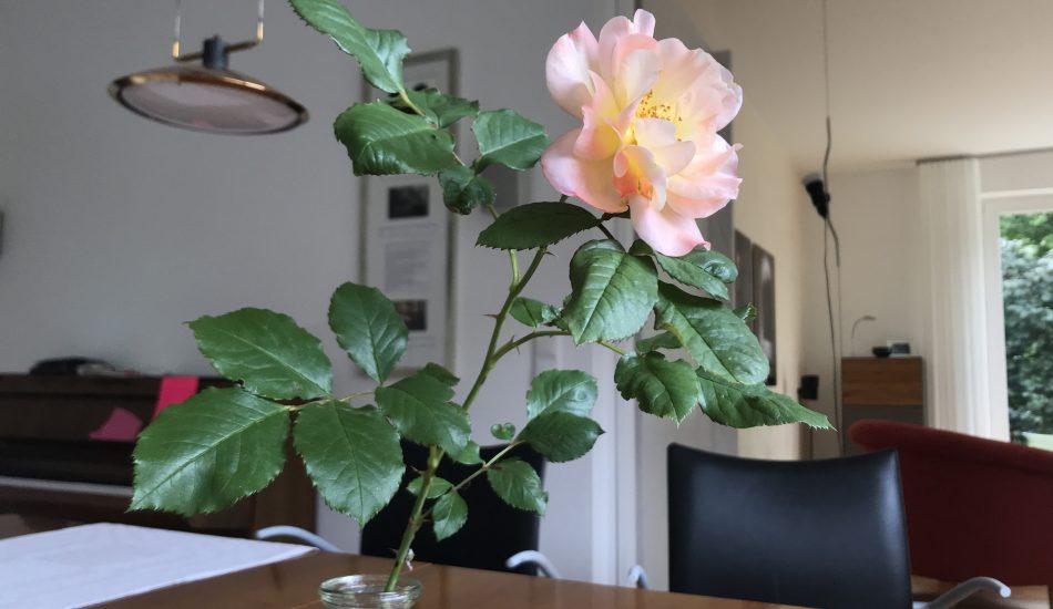 Wiederentdeckte Rose