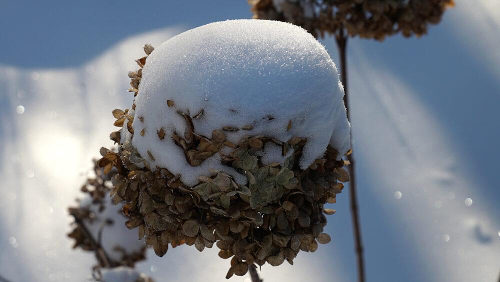 Schneehaube auf welker Blüte